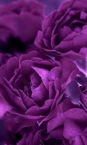 Colors Of Purple Best 25 Purple Roses Ideas On Pinterest Purple Rose Beautiful