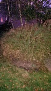 identify ornamental grass
