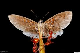 this butterfly and ant s relationship is complicated