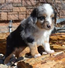 a toy australian shepherd about us color country aussies