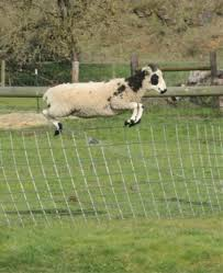 australian shepherd jumping fence sheep jumping fence stories from the farm