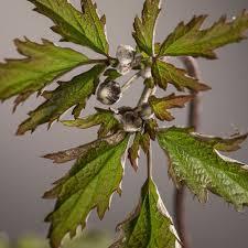 Komplett K Hen G Stig Online Kaufen Herbst Anemone Hadspen Abundance Anemone Hupehensis Hadspen