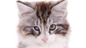 Can Cataracts Cause Blindness Cataracts In Cats Symptoms Causes And Treatments Cattime