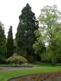 sequoia in leschi park in seattle