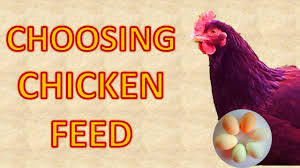 what u0027s the best chicken feed for laying hens youtube