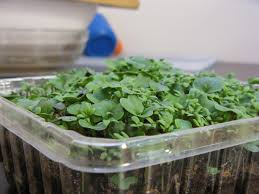 growing microgreens botanical interests blog