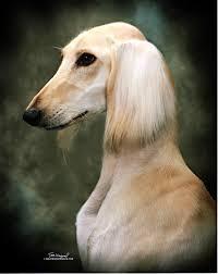afghan hound club of st louis dog show 2012 01 22