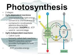 Where Do The Light Independent Reactions Occur Photosynthesis Ppt Download