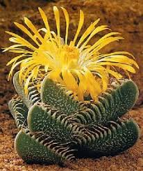 amazon succulents faucaria lupina succulents pinterest cacti plants and gardens