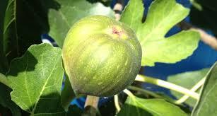 grow and prune fig trees sustainable gardening australia