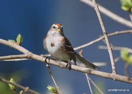 tree sparrow passerella arborea single bird in tree