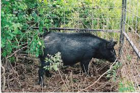 msu scientists study wild hog management mississippi state