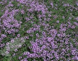 the 200 best images about alpine and rock garden plants on