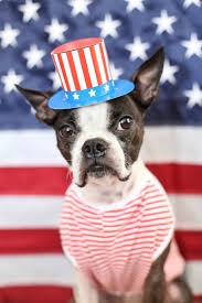 Boston Terrier Flag Happy Birthday Uncle Sam Aunt Zoey U2014 Cute Overload
