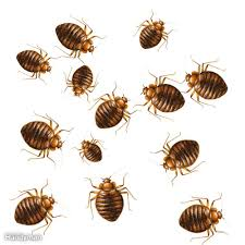 Pictures Of Tiny Red Bugs by How To Get Rid Of Bed Bugs A Diy Guide U2014 The Family Handyman