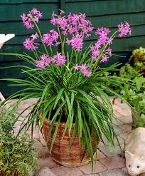 buy a container plant now society garlic bakker