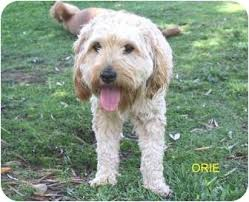 afghan hound poodle cross orie adopted dog los angeles ca poodle miniature