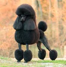 standard poodle hair styles huxtable the poodle toy poodle blog parti poodle black poodle