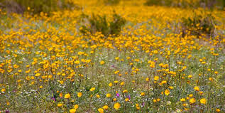 anza borrego super bloom it s super bloom season in california s anza borrego desert state