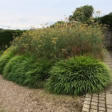 calamagrostis overdam plants grasses ornamental