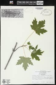 online virtual flora of wisconsin acer saccharinum