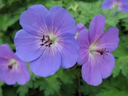 geranium rozanne too much of a good thing journal garden