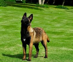 belgian malinois for sale belgian malinois detection dogs for sale mauiexpo kennel youtube