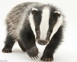 how can you stop badgers ruining your lawn daily mail