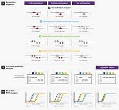 Genome Mapping Restriction Enzymes In Genome Mapping And Analysis Thermo Fisher