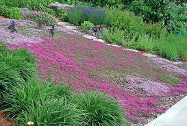 creeping thyme ground cover 50 seeds fragrant herb pink blooms