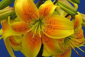 lilium u0027king pete u0027 asiatic lily