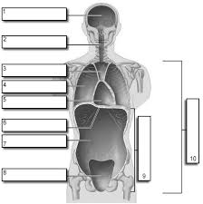 Planes And Anatomical Directions Worksheet Answers Cavities Labeling