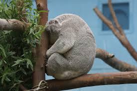 Meme Generator Koala - sad koala blank template imgflip