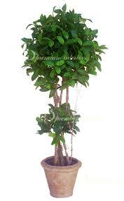 Laurel Topiary - tree