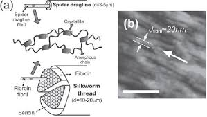 a the hierarchical structure of spider dragline and silkworm silk fiber both spider