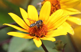 plants for native bees pollinator quick guide what you can do to help native bees ohioline