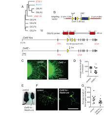 celf rna binding proteins promote axon regeneration in c elegans
