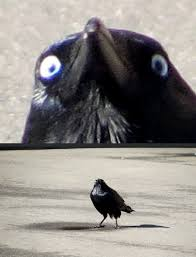 Crazy Bird Meme - insanity crow know your meme