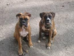 boxer dog reverse brindle halo u0026 d zil brindle boxers