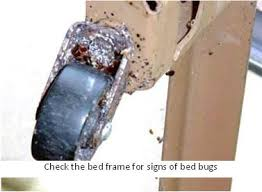 How To Kill Bed Bugs At Home Controlling Bed Bugs By Hand Let U0027s Beat The Bed Bug