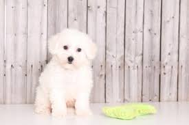 bichon frise names male view ad bichon frise puppy for sale ohio mount vernon usa
