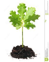 White Oak Leaf Small Oak Tree Stock Photo Image 56630993
