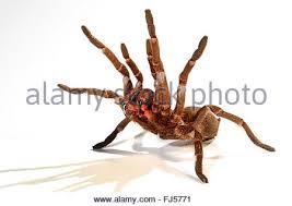 tarantula spider crawling closeup stock photo royalty free image