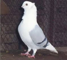 german owl pigeon breed information modern farming methods