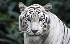 white tiger photo 14358 hdwpro