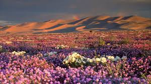 anza borrego super bloom a super bloom is hitting california deserts here s how to take