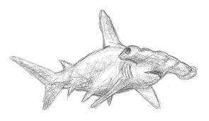 hammerhead shark by john am on deviantart