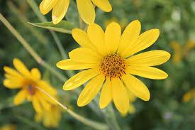 free photo yellow flower garden botanical free image on