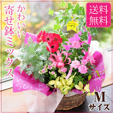next day delivery gifts hanako rakuten global market pretty potted flower gifts potted