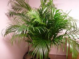 plants 1 6m 5ft real areca palm chrysalidocarpus lutescens